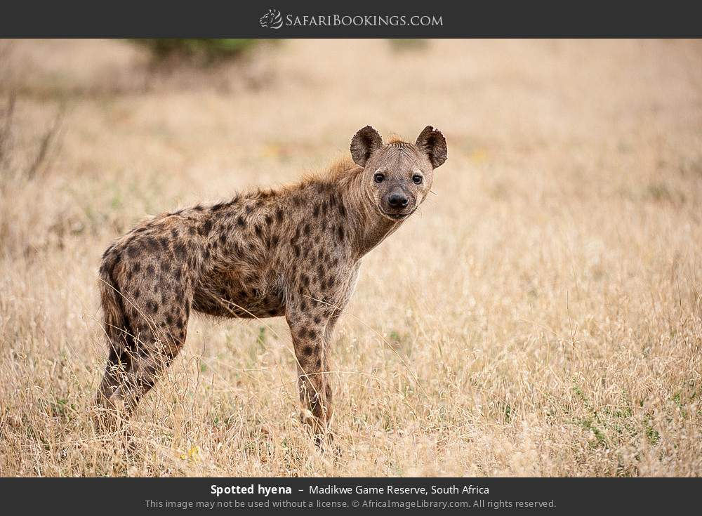Spotted hyena in Madikwe Game Reserve, South Africa