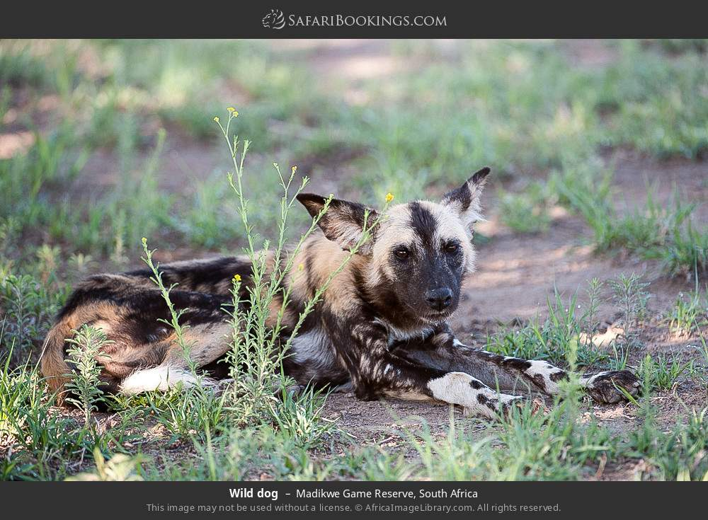 Wild dog in Madikwe Game Reserve, South Africa