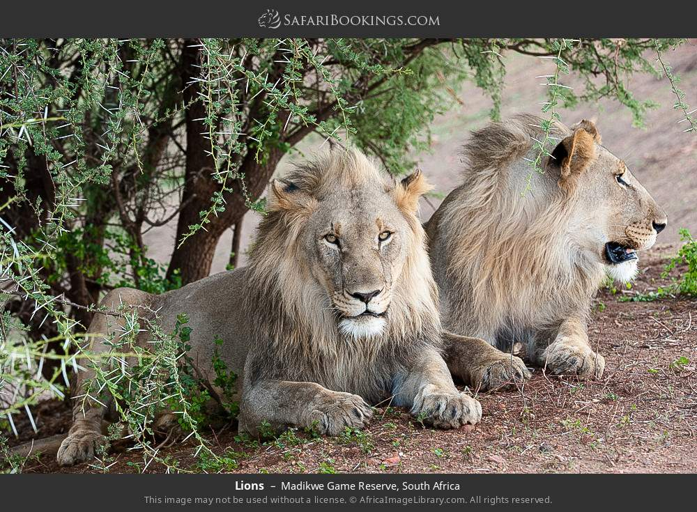 Lions in Madikwe Game Reserve, South Africa