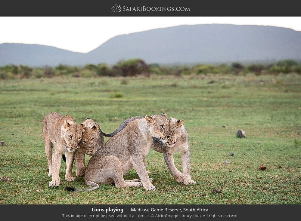 Lions playing in Madikwe Game Reserve, South Africa