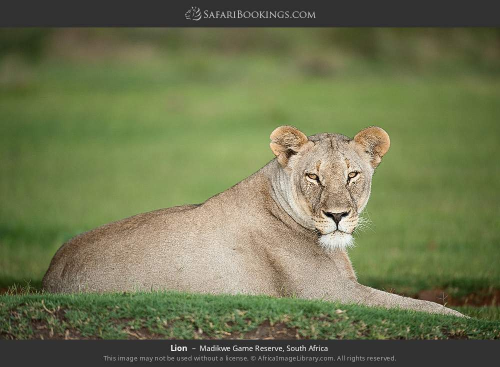 Lion in Madikwe Game Reserve, South Africa