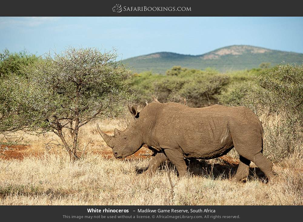White rhinoceros  in Madikwe Game Reserve, South Africa