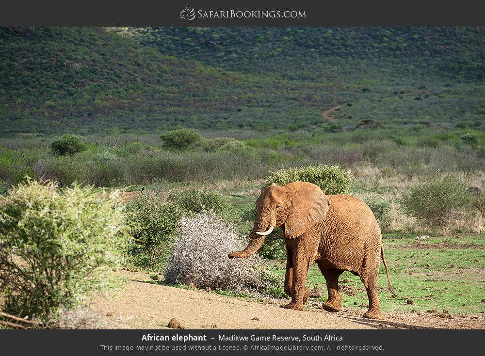 African elephant in Madikwe Game Reserve, South Africa