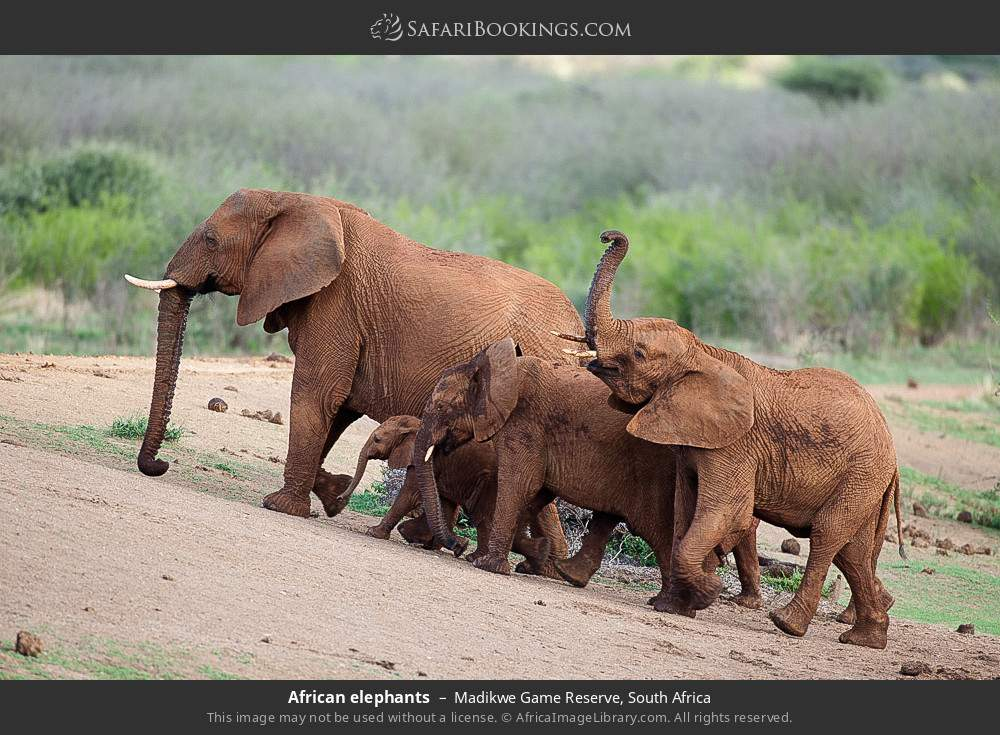 African elephants in Madikwe Game Reserve, South Africa