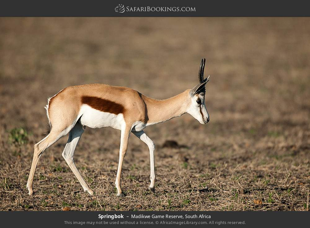 Springbok in Madikwe Game Reserve, South Africa