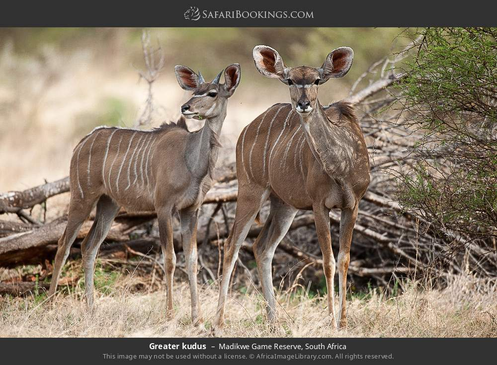 Greater kudus in Madikwe Game Reserve, South Africa