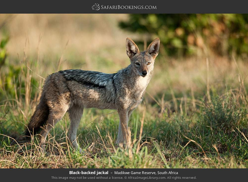 Black-backed jackal in Madikwe Game Reserve, South Africa
