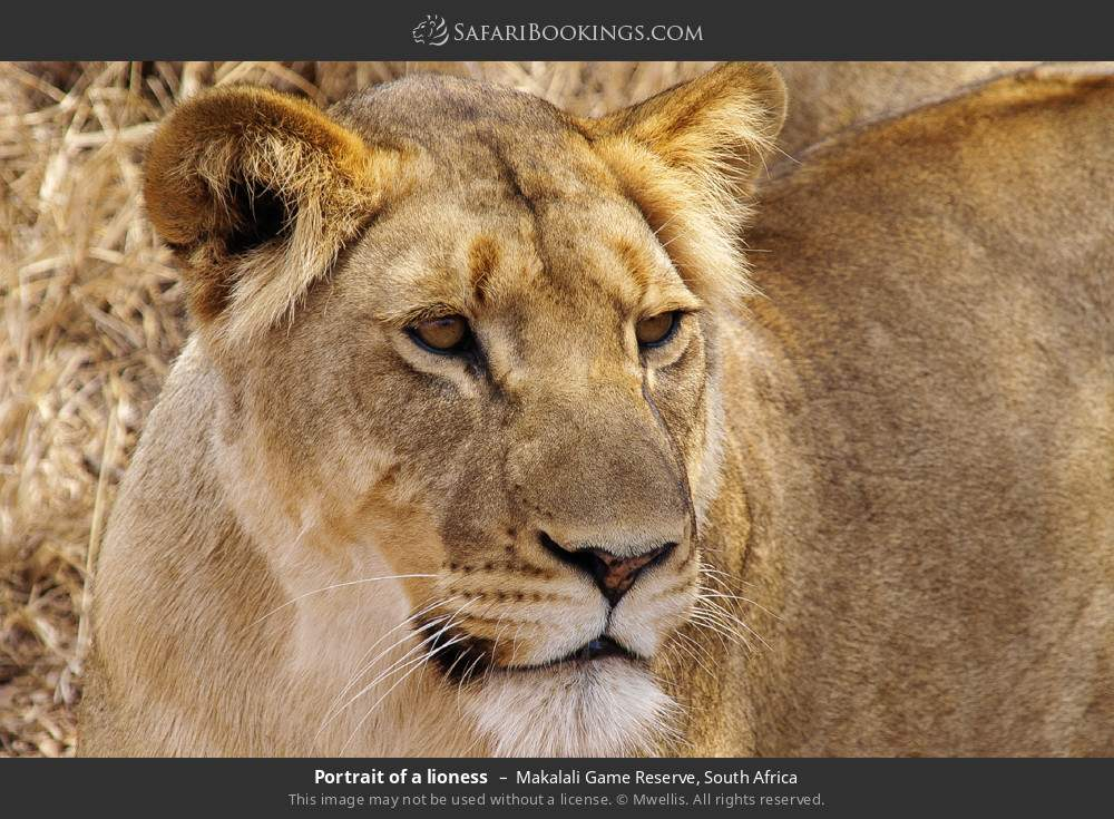 Portrait of a lioness in Makalali Game Reserve, South Africa