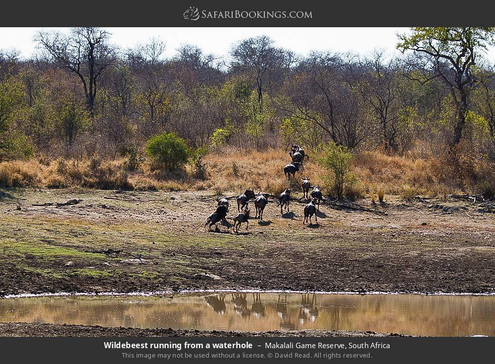 Wildebeest running from a waterhole in Makalali Game Reserve, South Africa