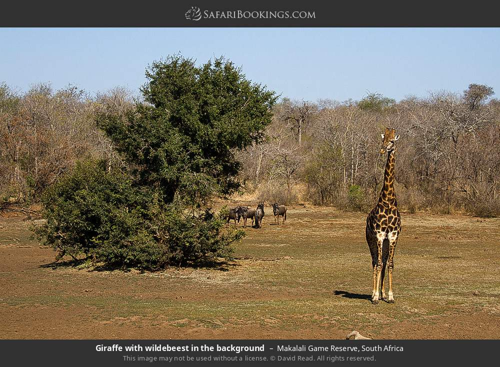 Giraffe with wildebeest in the background in Makalali Game Reserve, South Africa