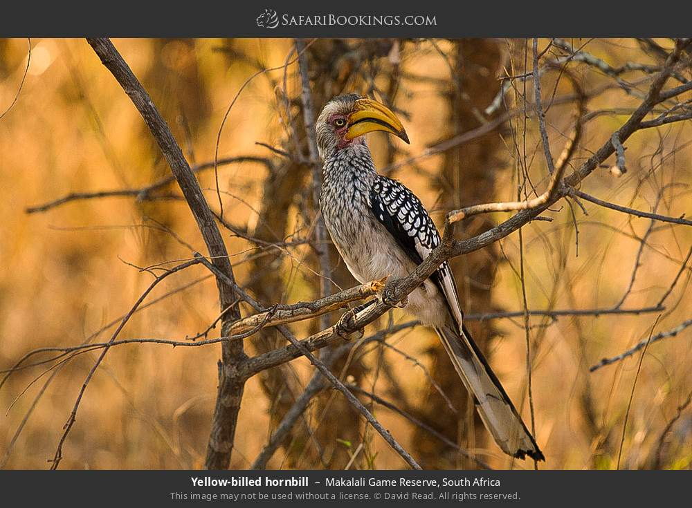 Yellow-billed hornbill in Makalali Game Reserve, South Africa