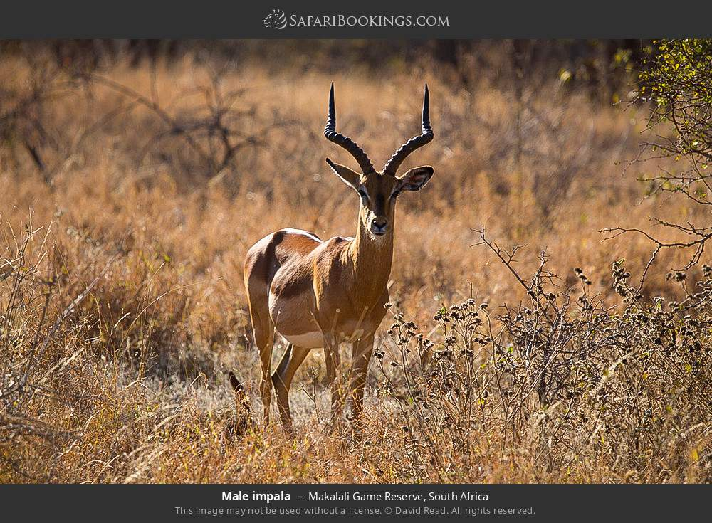 Male impala in Makalali Game Reserve, South Africa