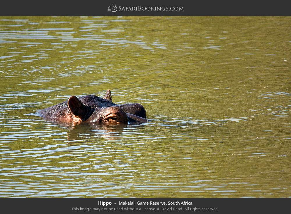 Hippo in Makalali Game Reserve, South Africa
