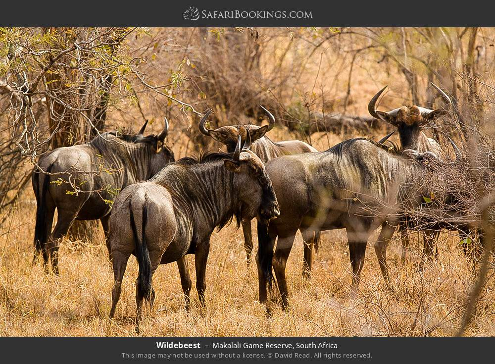 Wildebeest in Makalali Game Reserve, South Africa