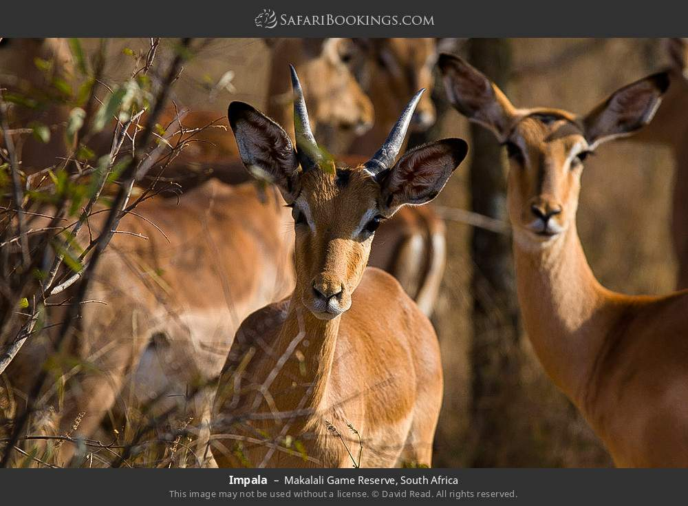 Impala in Makalali Game Reserve, South Africa