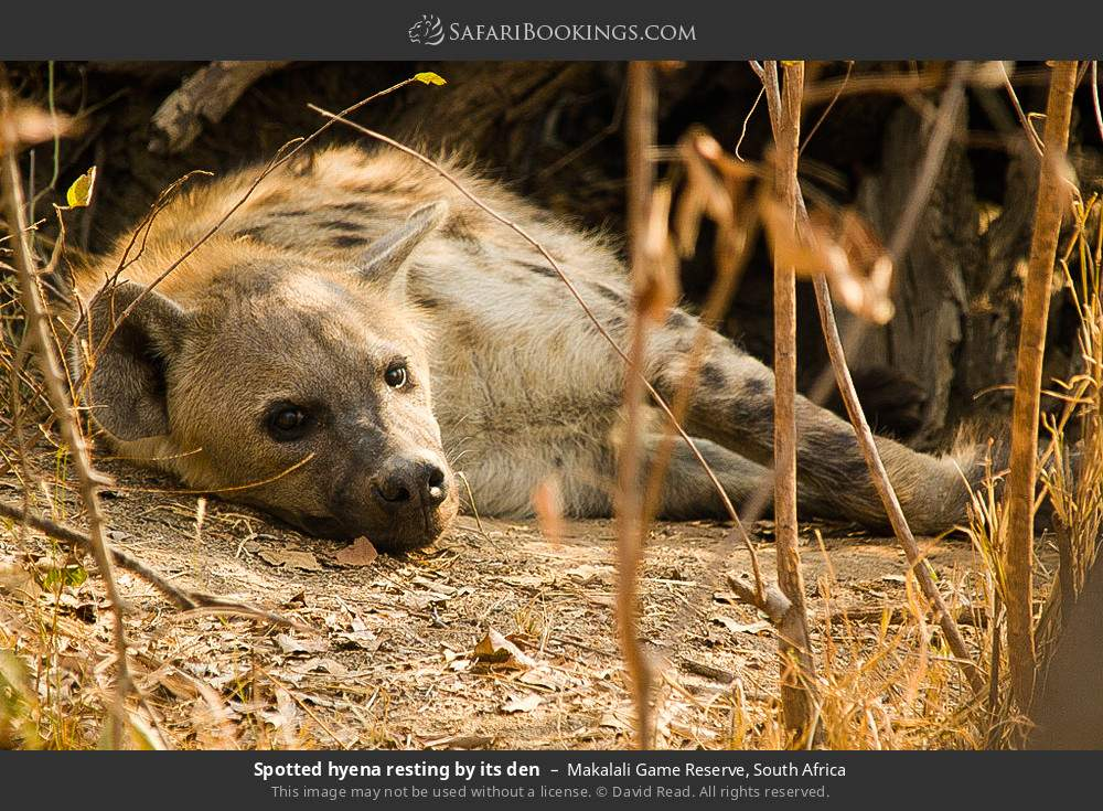 Spotted hyena resting by its den in Makalali Game Reserve, South Africa