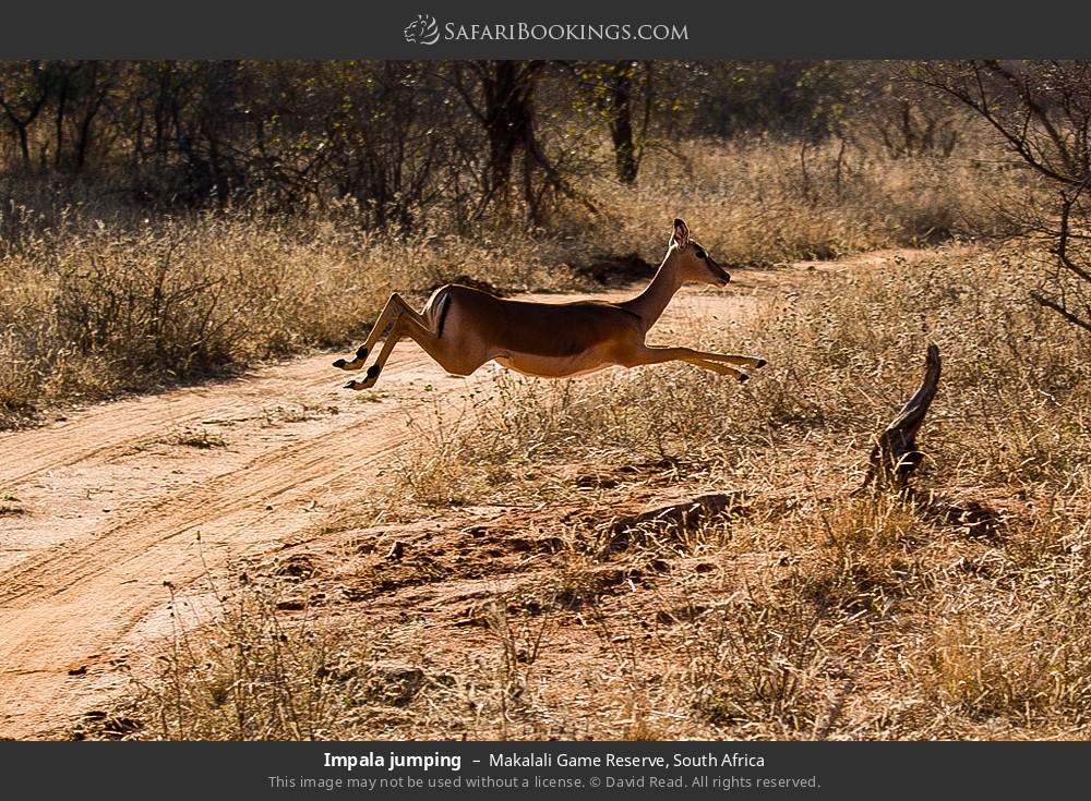 Impala jumping in Makalali Game Reserve, South Africa