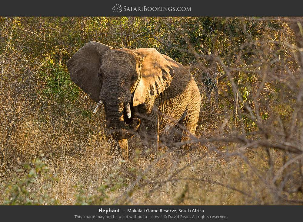 Elephant in Makalali Game Reserve, South Africa