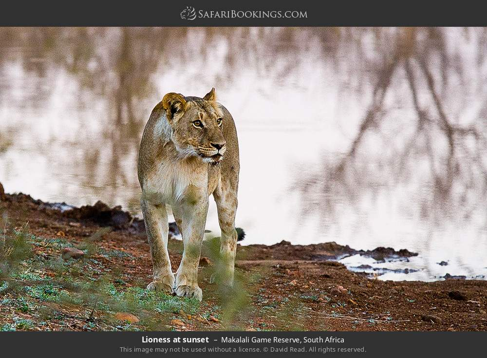 Lioness at sunset in Makalali Game Reserve, South Africa