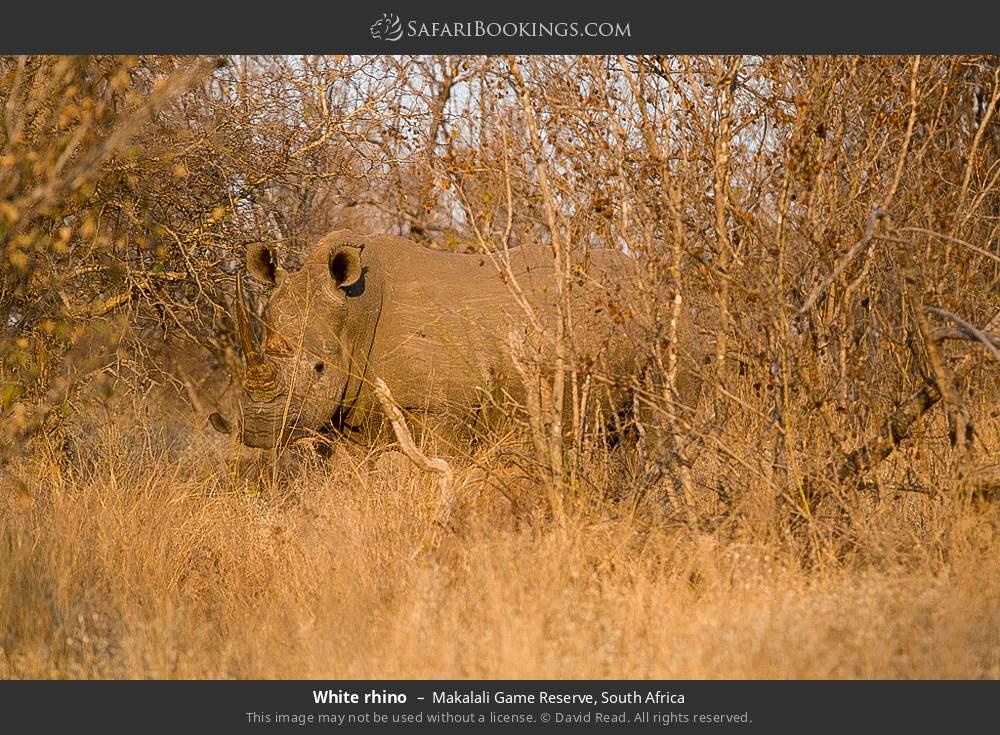White rhino in Makalali Game Reserve, South Africa