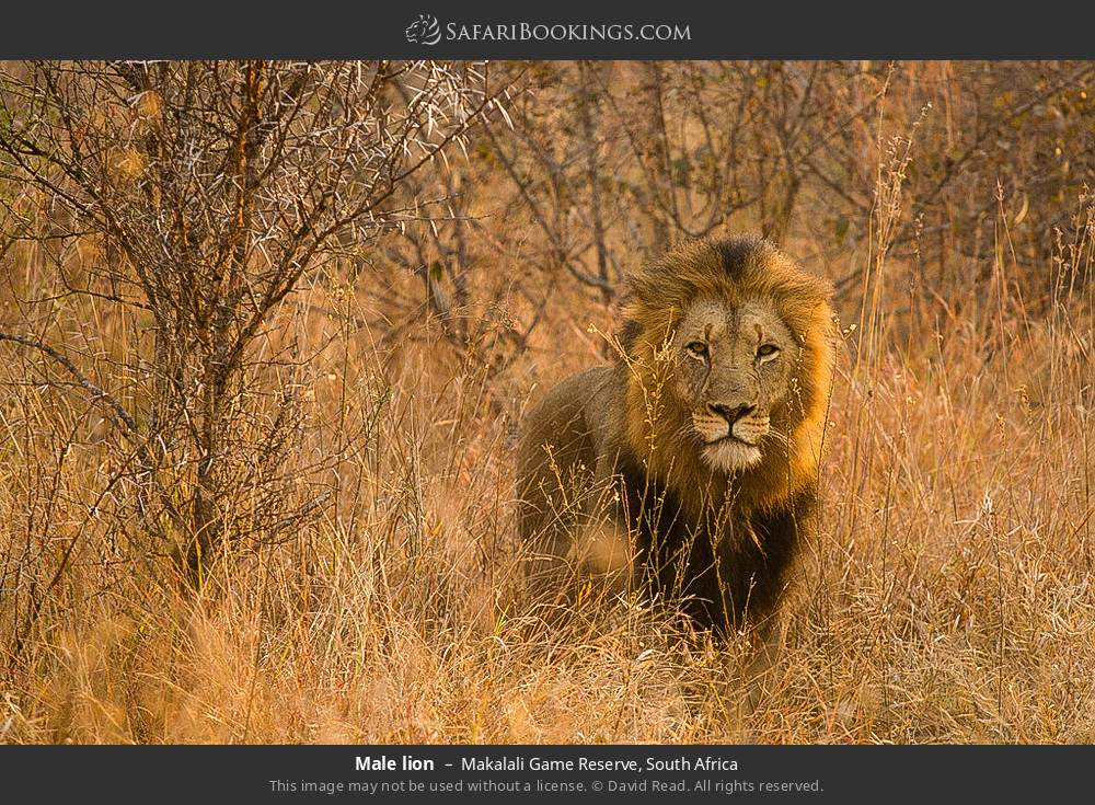 Male lion in Makalali Game Reserve, South Africa