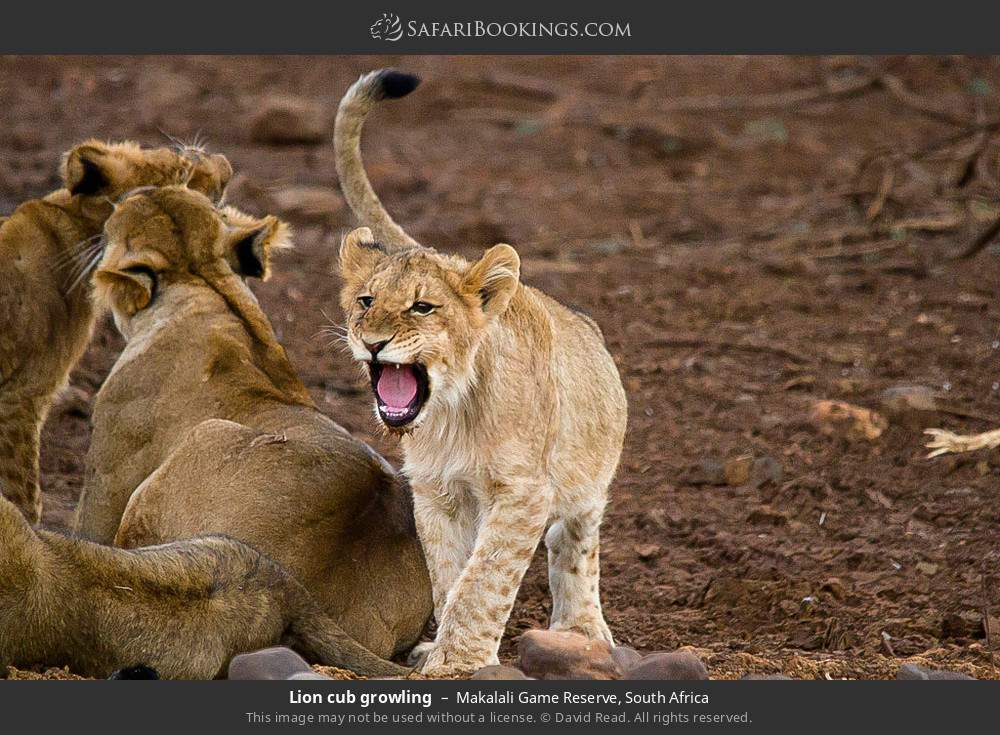 Lion cub growling in Makalali Game Reserve, South Africa