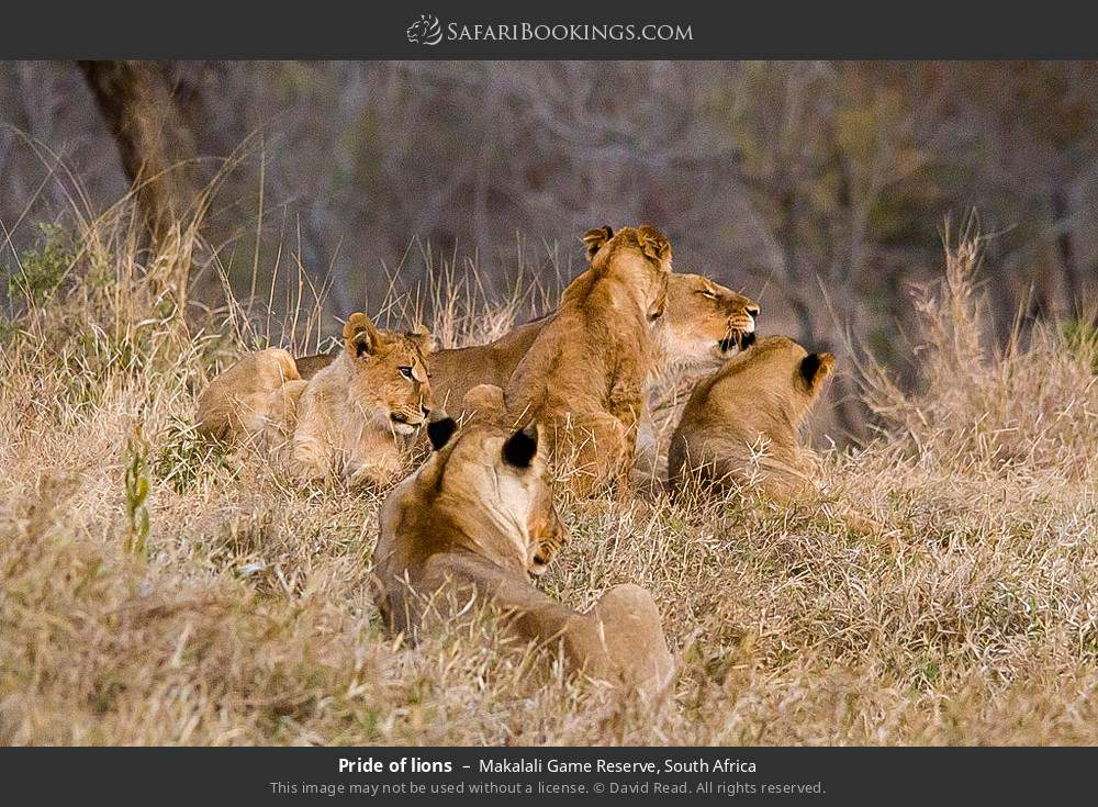 Pride of lions in Makalali Game Reserve, South Africa