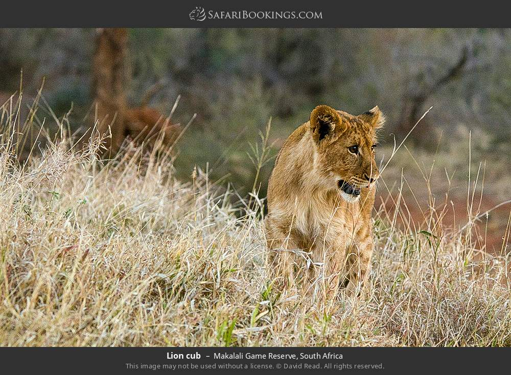 Lion cub in Makalali Game Reserve, South Africa