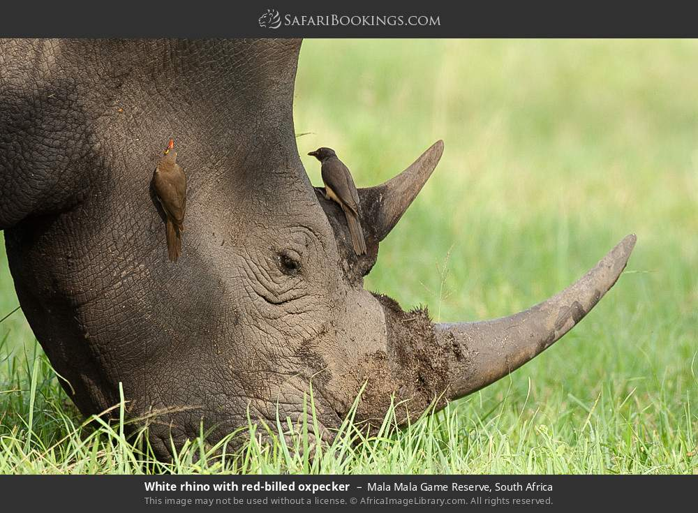 White rhino with red-billed oxpecker in Mala Mala Game Reserve, South Africa