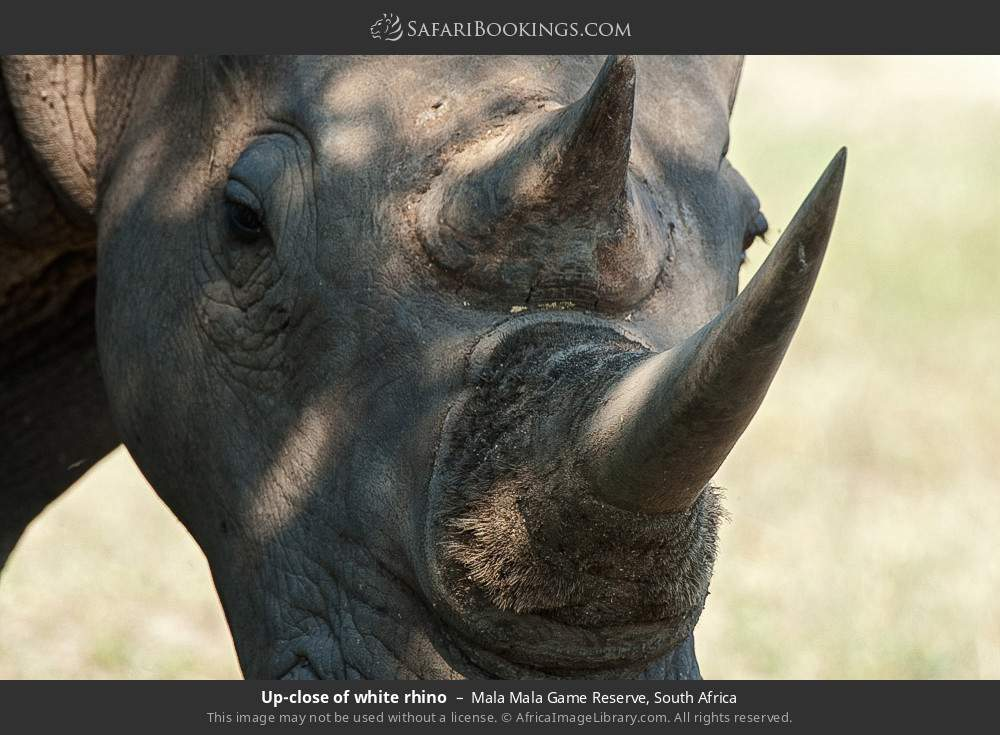 Up-close of white rhino in Mala Mala Game Reserve, South Africa
