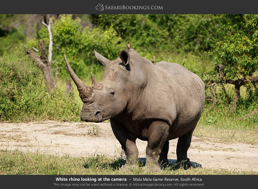 White rhino looking at the camera in Mala Mala Game Reserve, South Africa