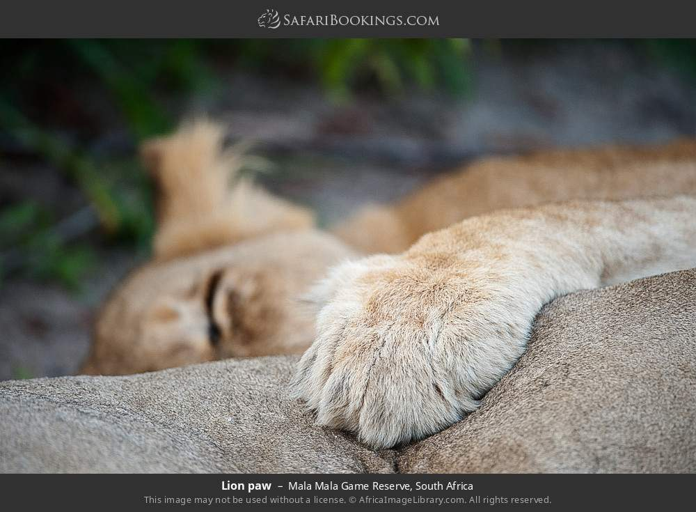 Lion paw in Mala Mala Game Reserve, South Africa