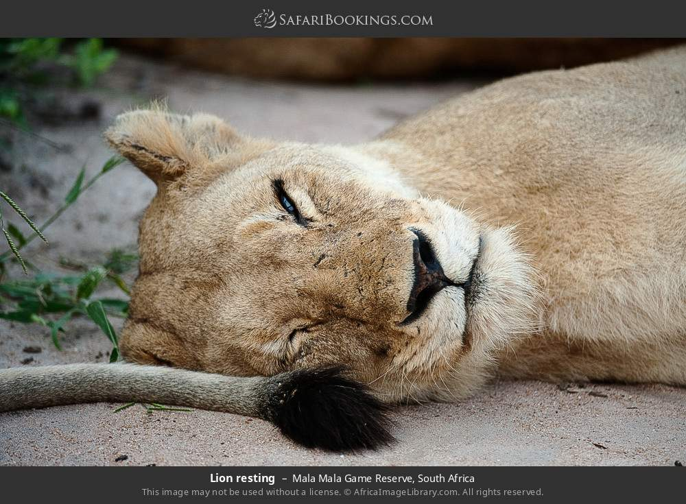 Lion resting in Mala Mala Game Reserve, South Africa