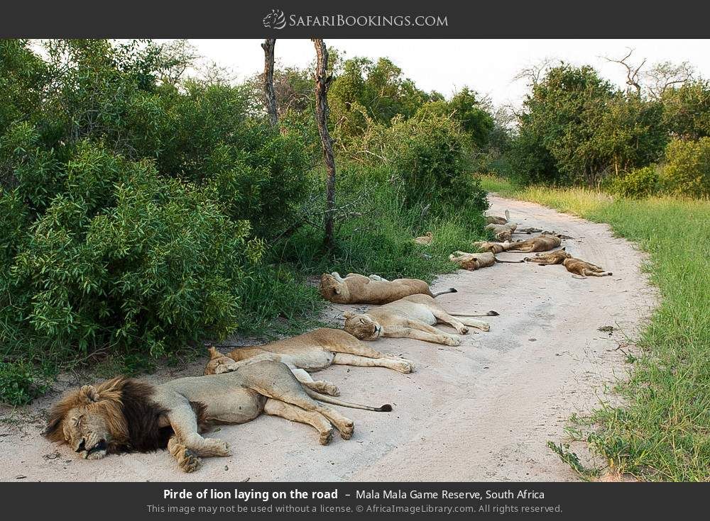 Pirde of lion laying on the road in Mala Mala Game Reserve, South Africa