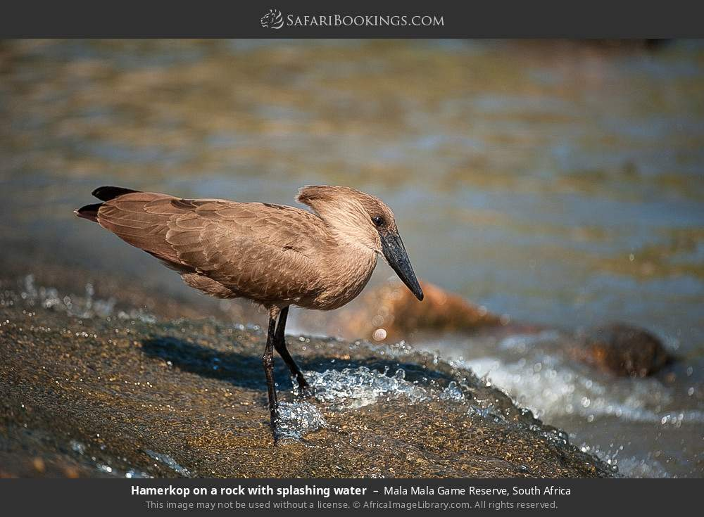 Hamerkop on a rock with splashing water in Mala Mala Game Reserve, South Africa