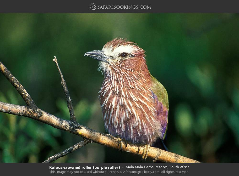 Rufous-crowned roller (purple roller) in Mala Mala Game Reserve, South Africa