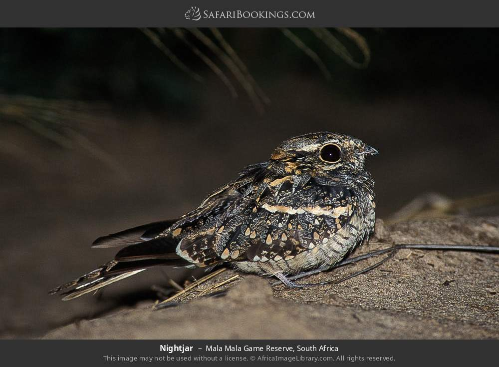 Nightjar in Mala Mala Game Reserve, South Africa
