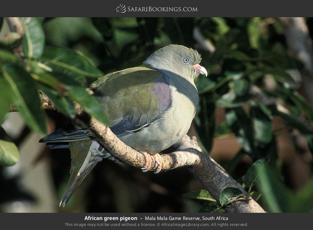 African green pigeon in Mala Mala Game Reserve, South Africa