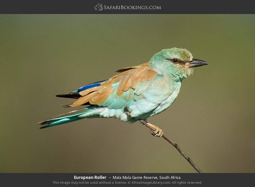 European Roller in Mala Mala Game Reserve, South Africa