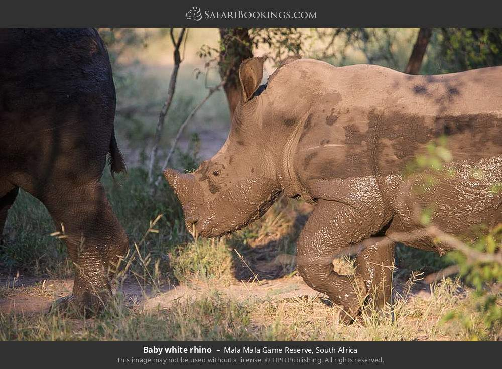 Baby white rhino in Mala Mala Game Reserve, South Africa