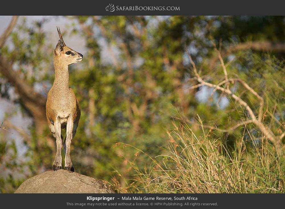 Klipspringer in Mala Mala Game Reserve, South Africa