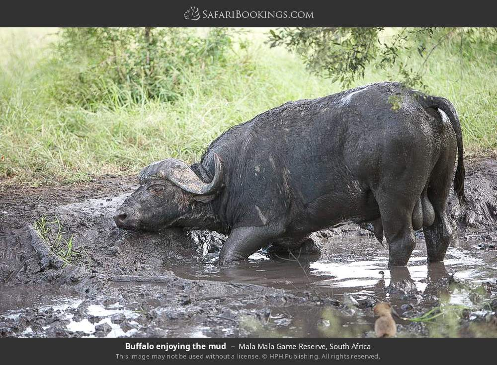 Buffalo enjoying the mud in Mala Mala Game Reserve, South Africa
