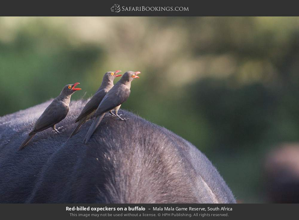 Red-billed oxpeckers on a buffalo in Mala Mala Game Reserve, South Africa