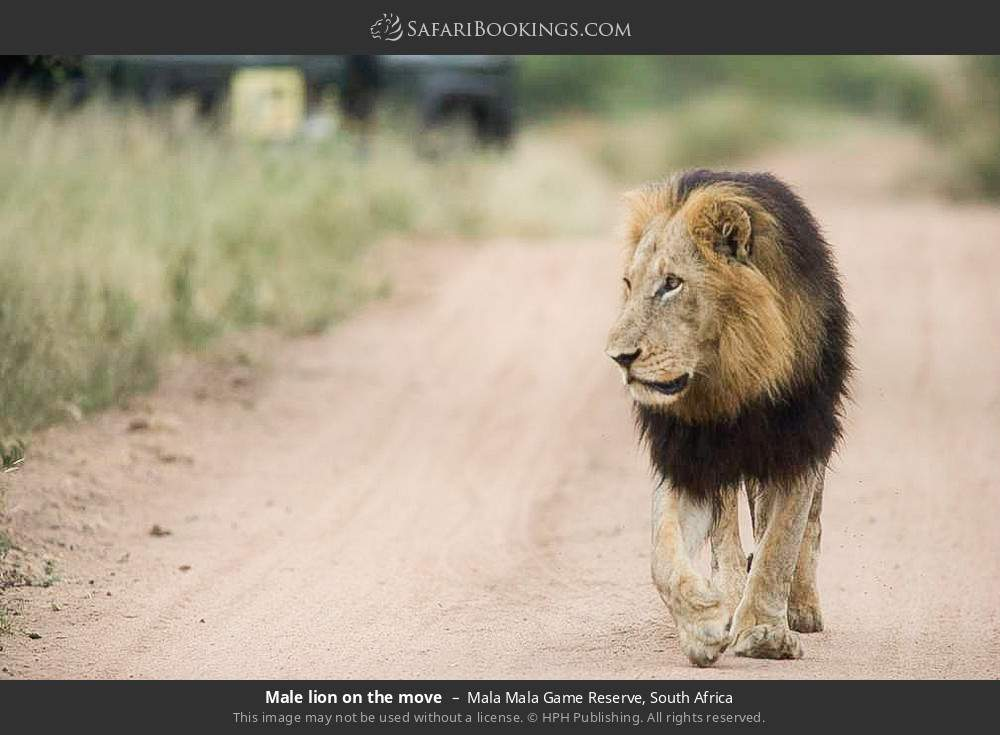 Male lion on the move in Mala Mala Game Reserve, South Africa