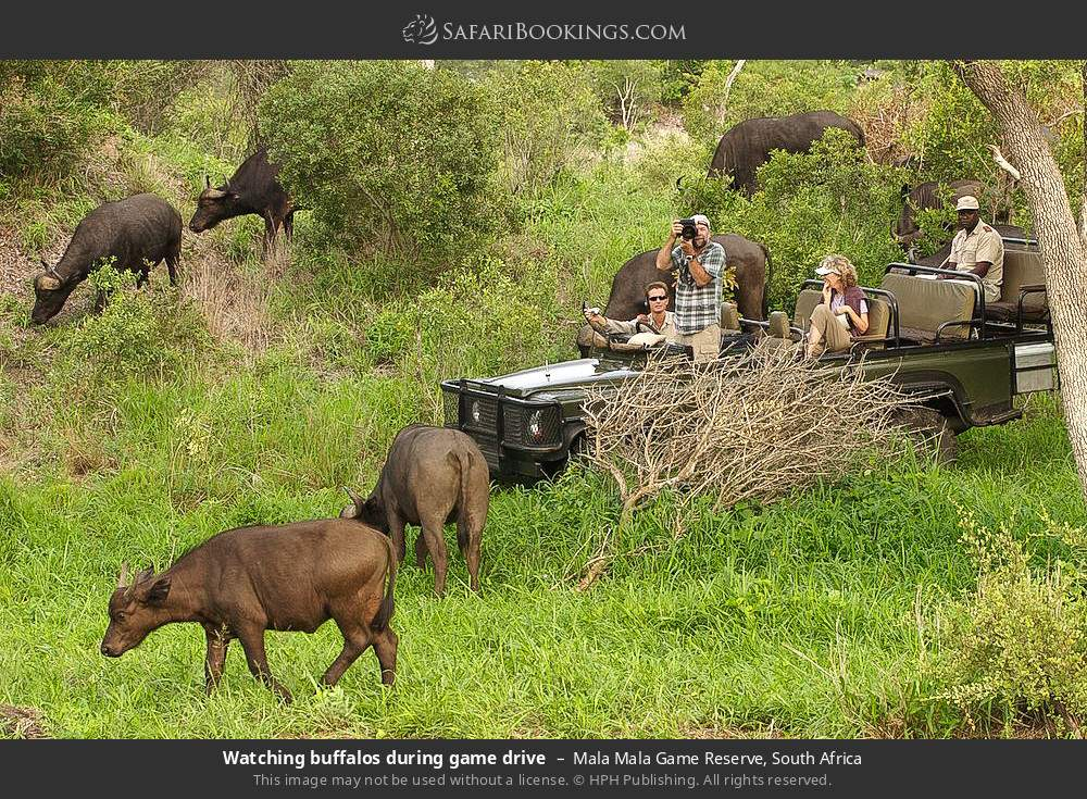 Watching buffalos during game drive in Mala Mala Game Reserve, South Africa