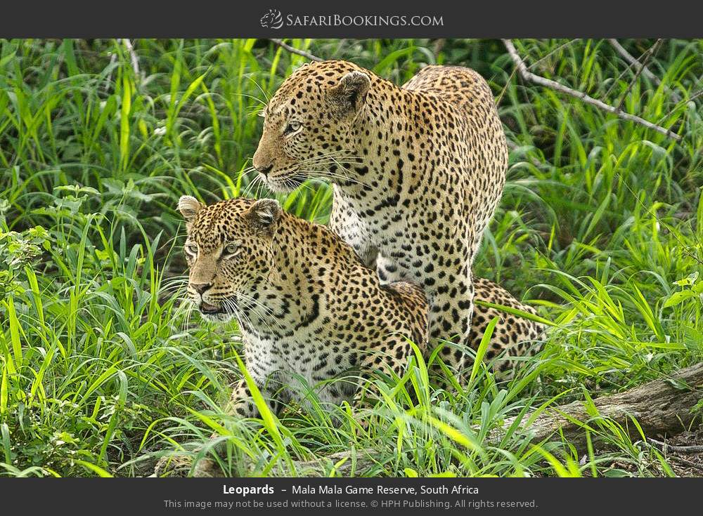 Leopards in Mala Mala Game Reserve, South Africa