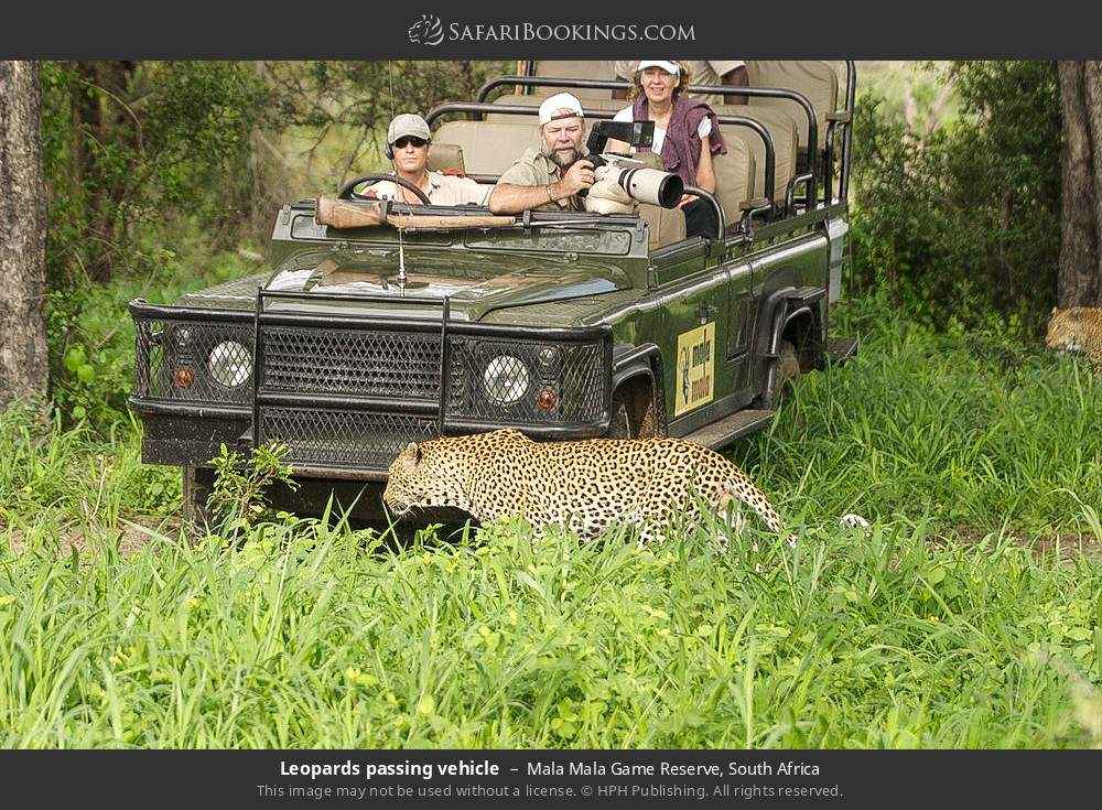 Leopards passing vehicle in Mala Mala Game Reserve, South Africa