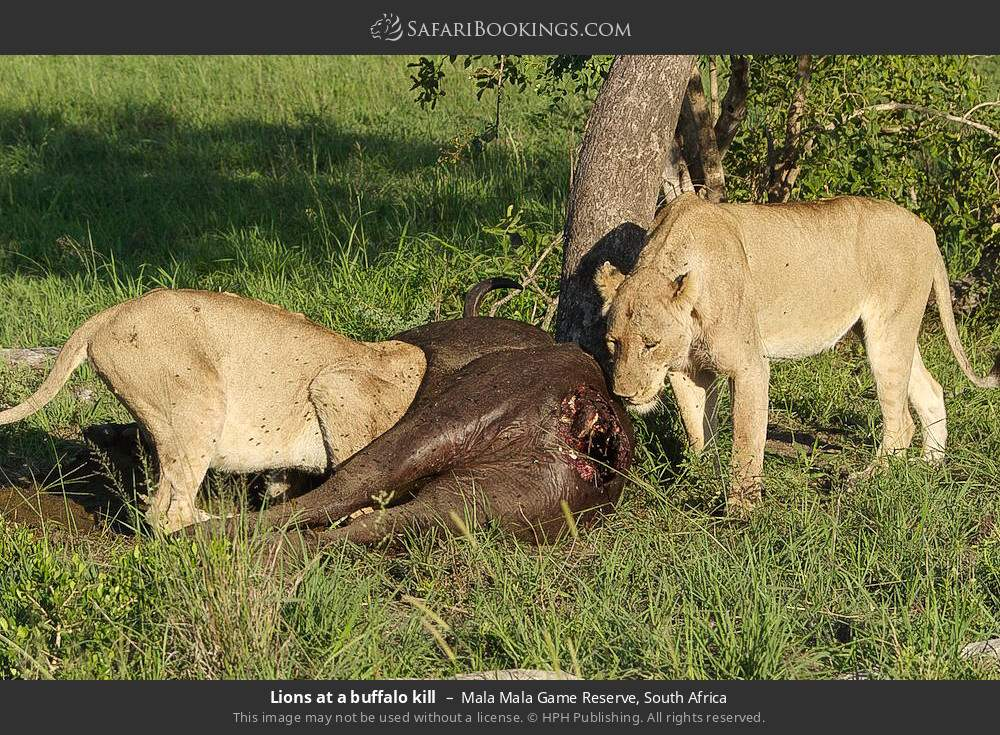 Lions at a buffalo kill in Mala Mala Game Reserve, South Africa
