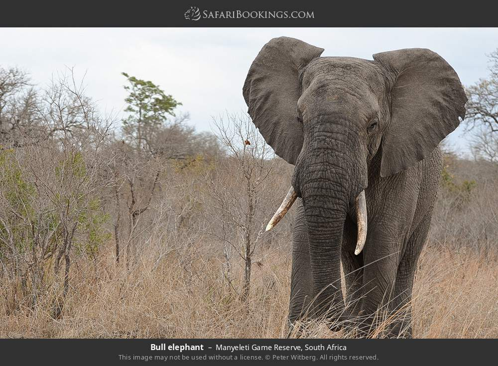 Bull elephant in Manyeleti Game Reserve, South Africa