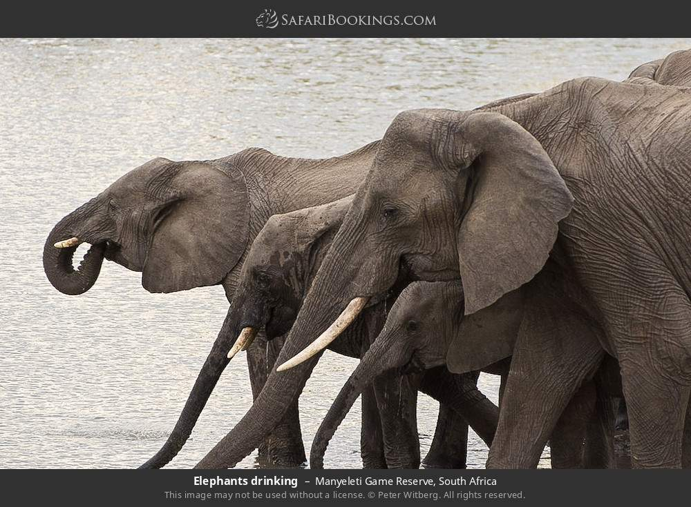 Elephants drinking in Manyeleti Game Reserve, South Africa